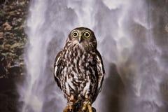 Posing Owl. Owl posing in front of fake waterfall Stock Image