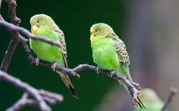 Posing parakeets Stock Photo