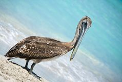 Posing Pelican Stock Photography