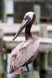 Posing Pelican Royalty Free Stock Photos