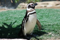 Posing Penguin. Portrait of a solitary penguin standing on grass in 3/4 profile Royalty Free Stock Image