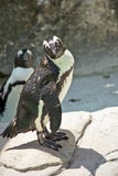 Posing Penguin and Nosy Friend Royalty Free Stock Photography