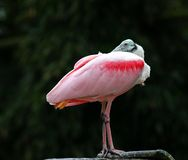 Posing pink bird Royalty Free Stock Image