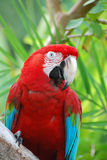 Posing Poised Scarlet Macaw Bird Stock Images