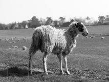 Posing Pregnant Sheep in black and white Stock Photos