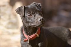 Posing Puppy. Young patterdale pup Stock Photos