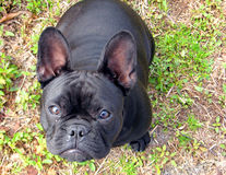 Posing puppy. Black English Bulldog puppy posing for the camera Stock Photo