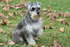 Posing Puppy Schnauzer. Posing miniature schnauzer in green grass with leaves, paw held up Stock Photography