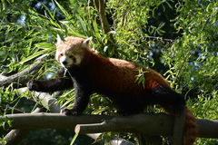 Posing Red Panda. At ZOO Ostrava, Czech Republic Royalty Free Stock Photography