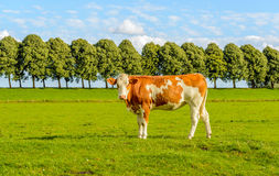 Posing red spotted young cow Royalty Free Stock Images