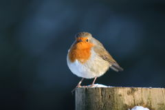 Posing Robin. A brave European Robin sitting on post in Haldon Hill woods Royalty Free Stock Photos
