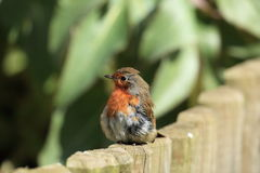 Posing robin bird. Stock Image