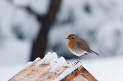 Posing Robin Stock Images