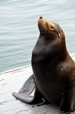 Posing Sea Lion. Californian sea lion with its nose up in the air Stock Photos
