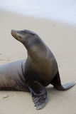 Posing Seal With An Attitude Royalty Free Stock Photo