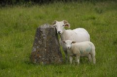 Posing Sheep Royalty Free Stock Photo