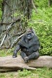 Posing silverback. A silverback gorilla posing for the camera Royalty Free Stock Photography