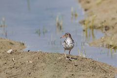 Posing spotted sandpiper close up royalty free stock photo