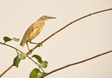 A posing Squacco Heron Royalty Free Stock Photo