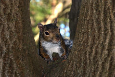 Posing Squirrel. Brown and white squirrel posing on the tree Royalty Free Stock Photo