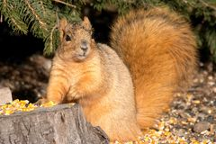 Posing Squirrel Stock Photos