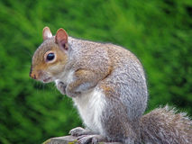 Posing squirrel Royalty Free Stock Photography