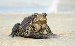Posing Toad. A large toad posing for the camera Royalty Free Stock Photos