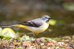 Posing wagtail. Royalty Free Stock Photography