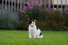 Posing White & Black Cat. A black and white cat poses in the grass Stock Photo