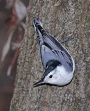 Posing White-breasted Nuthatch Stock Photo