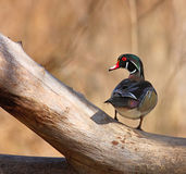 Posing Wood Duck Royalty Free Stock Photography