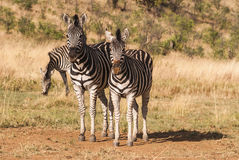 Posing zebra couple Royalty Free Stock Photography