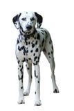 Posição Dalmatian, isolada contra um fundo branco Fotos de Stock
