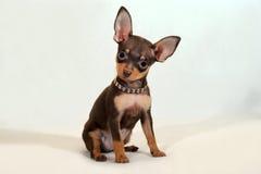 Positief kijk - Russisch stuk speelgoed meer terier puppy op witte achtergrond Royalty-vrije Stock Afbeeldingen