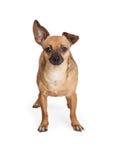 Position adorable de chien de race de mélange de chiwawa Photos stock