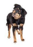 Position anglaise de Mixed Breed Dog de berger Images stock