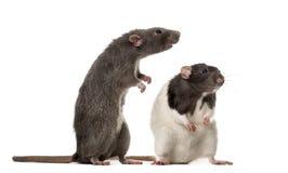 Position attentive de deux rats, image libre de droits