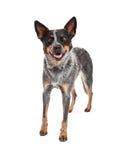 Position australienne de sourire de chien de bétail Photos stock