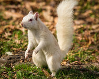 Position blanche d'écureuil Photographie stock