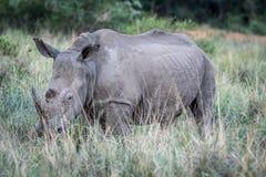 Position blanche de rhinocéros dans l'herbe image stock