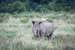 Position blanche de rhinocéros dans l'herbe photo libre de droits