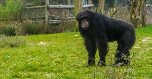 Position commune noire de chimpanzé dans le pâturage d'herbe et regard vers la caméra, espèces animales mises en danger photos libres de droits