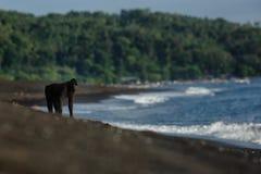 Position crêtée de macaque sur sur la plage avec la lagune et la jungle bleues à l'arrière-plan Macaque crêté noir endémique Habi photos stock