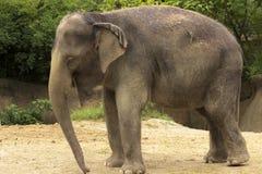 Position d'éléphant Images libres de droits