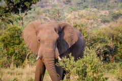 Position d'éléphant africain dans l'herbe photographie stock