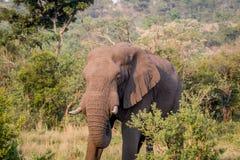 Position d'éléphant africain dans l'herbe photographie stock libre de droits