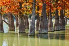 Position d'or de distichum de Taxodium majestueux dans un lac magnifique contre le contexte des montagnes de Caucase en automne A photographie stock libre de droits