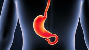 Position d'estomac au corps humain illustration de vecteur