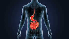 Position d'estomac, d'intestin grêle et de squelette au corps humain illustration stock