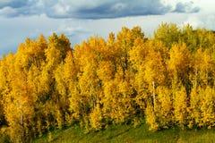 Position d'or forte d'Aspen Trees sur le passage de Kebler, le Colorado Image libre de droits